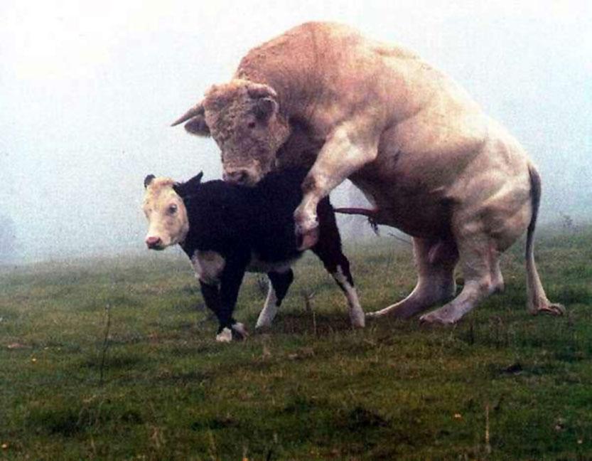 Кокой член у быка